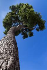 Tall maritime pine
