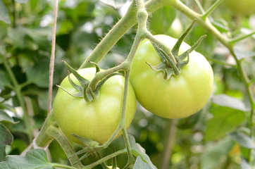 Tomato in greenhouse