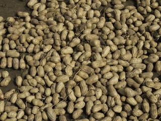 Trocknung geernteter Erdnüsse