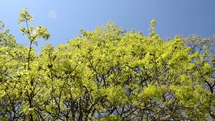 Turn scene of green maple tree branch move in wind over blue sky