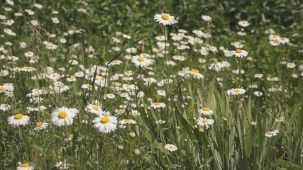 a lot of daisies in a field in the wind