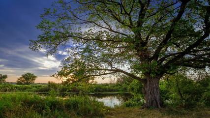moving clouds behind a single big oak tree