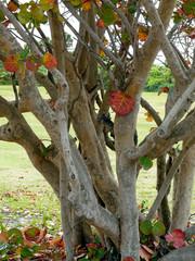 Large Seagrape Tree