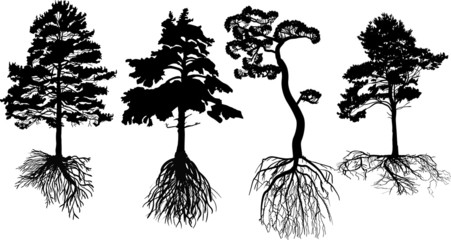 isolated four black pines with roots