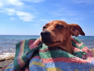 pinscher Shila at the sea
