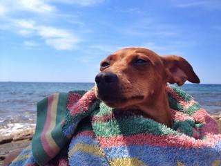 pinscher Shila at the sea