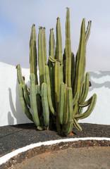 Pachycereus marginatus au Jardin de cactus d'Antigua  Fuerteven