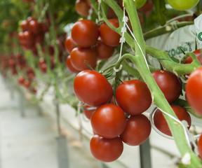 domates üretimi
