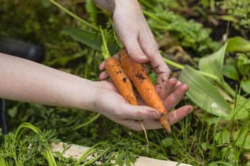 Ernte von Mohrrüben, harvest of carrots