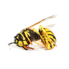 Dead wasp.