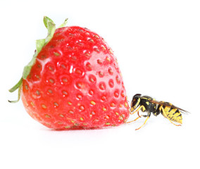 Live wasp with strawberry.