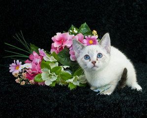 Little Siamese Kitten