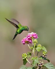 Hummingbird sucking nectar.