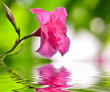 pink rose dipladenia flower
