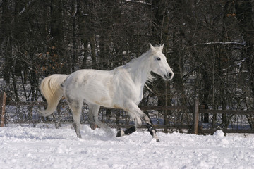 Thoroughbred white horse  galloping in winter corral