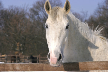 Thoroughbred white horse in winter corral