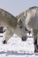 A nice pair. Two thoroughbred horses standing in winter corral