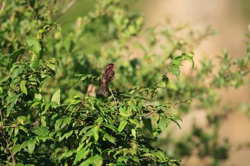 Chinese beautiful rosefinch (Carpodacus davidianus) in China