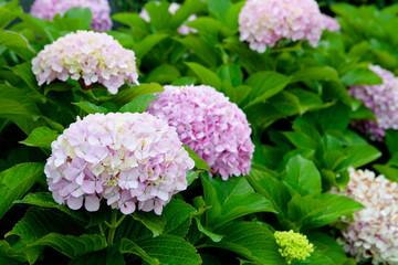 Beautiful hydrangea plant