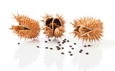 The Datura Fruit Capsules