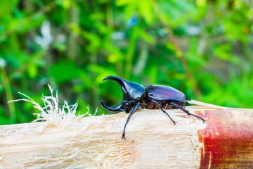 Thai rhinoceros beetle eating sugar cane