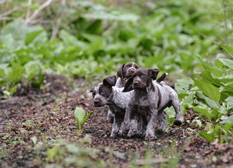 litter of puppies playing