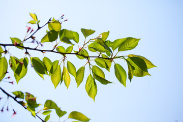 Fresh green leaves of cherry tree
