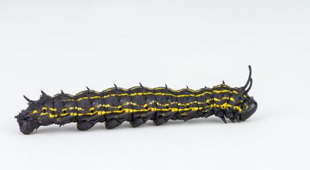 striped oakworm larva on white background