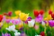 Obrazy na płótnie, fototapety, zdjęcia, fotoobrazy drukowane : tulips