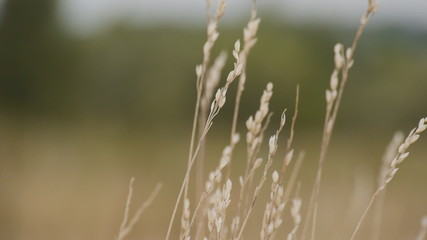 spikelets plant