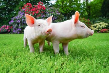 Zwei drollige Ferkel im Gras