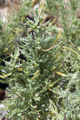 Anti-Mueckenpflanze; afrikanischer; Rosmarin; Eriocephalus; afri