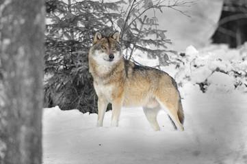 Alphawolf hält Ausschau