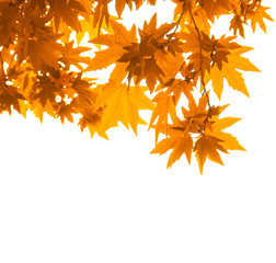 autumn leaves over white, very shallow focus