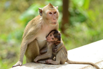Monkey Baby and Mother Breastfeeding