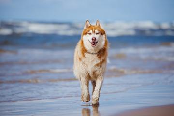 siberian husky running on the beach
