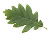 Leinwanddruck Bild - Eichenblatt; Quercus; Robur;