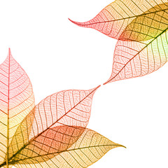 Transparent autumnal leaves on white background
