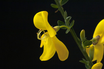 Ginster; Cytisus; scoparius;