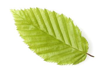 Hainbuchenblaetter; Carpinus; betulus;