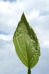 Hosta; Blaetter, leaves,