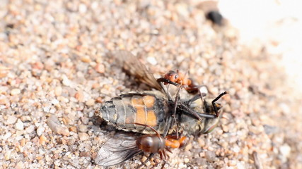 ant got a fly and bears in an ant hill.  macro