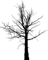black dry large tree silhouette on white
