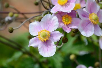 Prairie Rose-Gentian pink flowers
