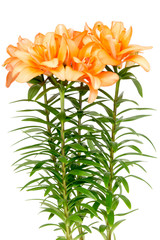 Orange asian lilies