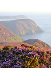 Blooming Purple Heather, Cliffs and Sea. Isle of Man