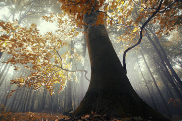 old tree with twisted roots in a misty forest in autumn