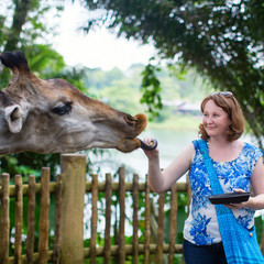 Zoo visitor is feeding a giraffe