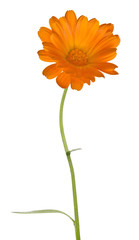 single orange marigold flower on white