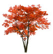 bright large red isolated maple tree